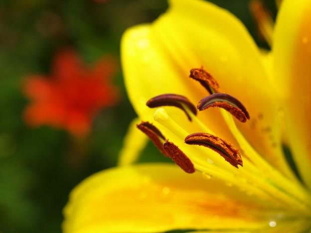 Photos: 黄色ゆりのチョコバナナ。