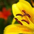 写真: 黄色ゆりのチョコバナナ。