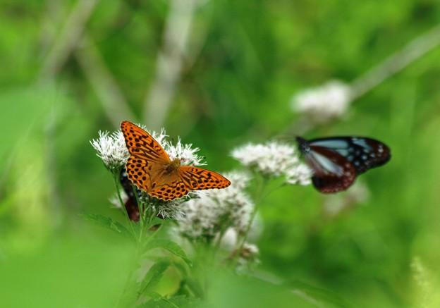 高原のヒョウモン蝶。