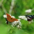 Photos: 高原のヒョウモン蝶。