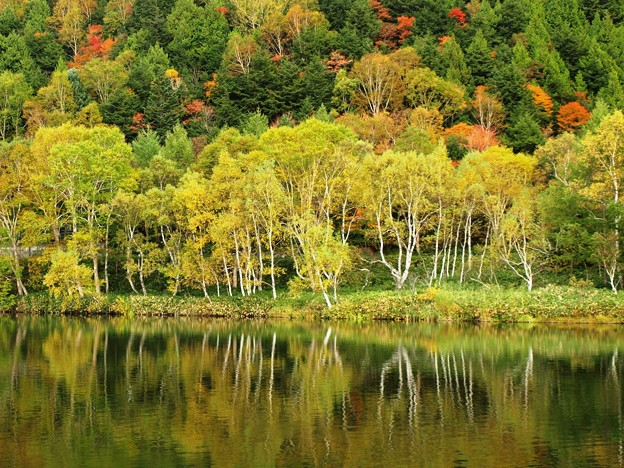 白樺輝く木戸池。
