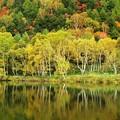 写真: 白樺輝く木戸池。