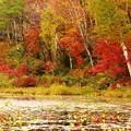 写真: 蓮池の色づき。