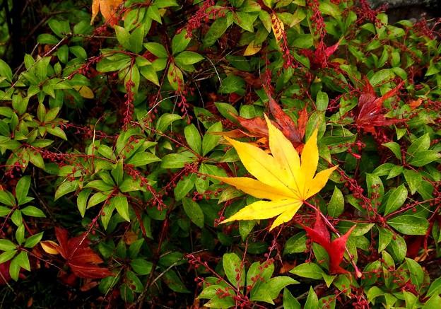 黄色葉一葉。