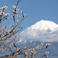 Photos: 白梅ほころび始める。