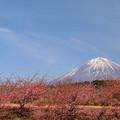 寒桜の枝伸びて。