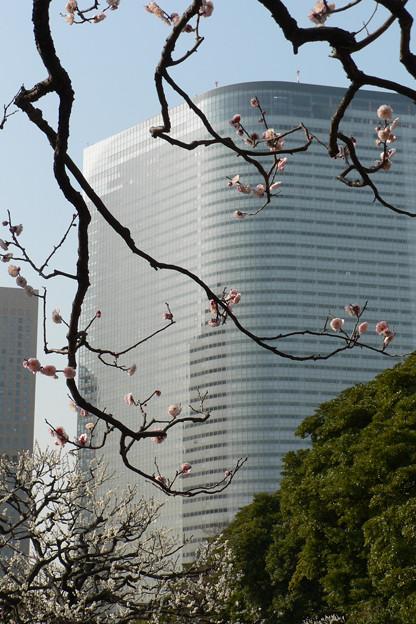 大都会の紅梅の枝ぶり。