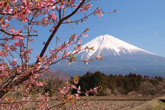 畑の寒桜咲き始める。