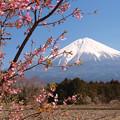 Photos: 畑の寒桜咲き始める。