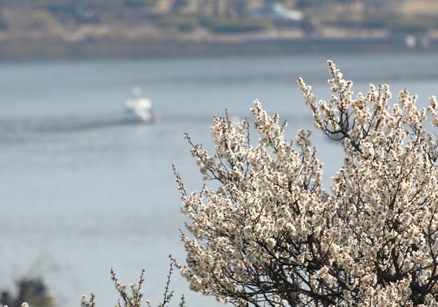 白梅と千波湖。