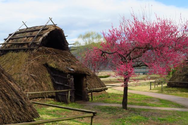 古代の家に紅梅咲きて。