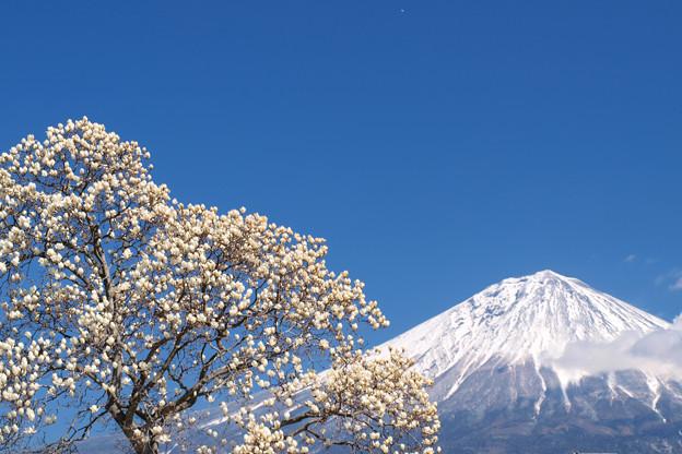 白木蓮と青い空。