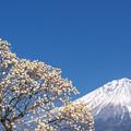 Photos: 白木蓮と青い空。