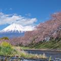 潤井川の春もよう。