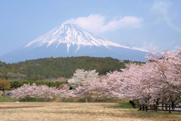 Photos: 広場を飾る、桜たち。