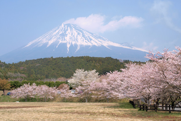 広場を飾る、桜たち。
