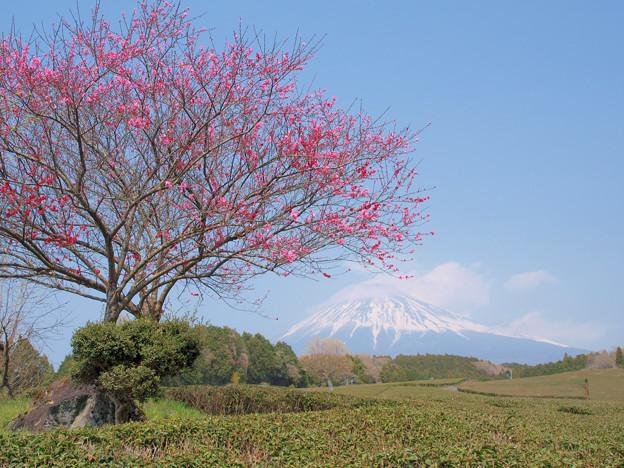 茶畑の一本木。