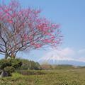 Photos: 茶畑の一本木。