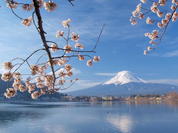 小さな桜に朝日があたり。