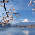 Photos: 小さな桜に朝日があたり。
