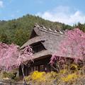 茅葺き屋根を桜が飾る。