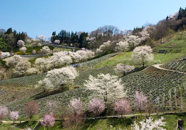 ヤマザクラの里の賑わい春。