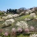 Photos: ヤマザクラの里の賑わい春。