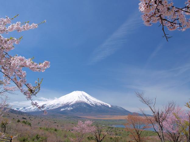 パノラマ台の名残りの桜。