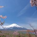 Photos: パノラマ台の名残りの桜。