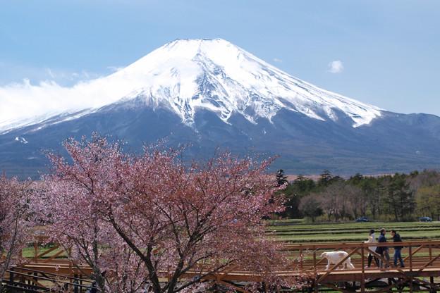 わんちゃんと桜見お散歩。