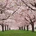 Photos: 一葉の並木のお誘い。