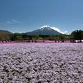 Photos: 一面の芝桜。
