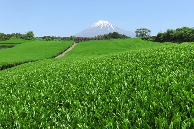Photos: 五月晴れの茶畑グリーン。