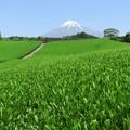 五月晴れの茶畑グリーン。