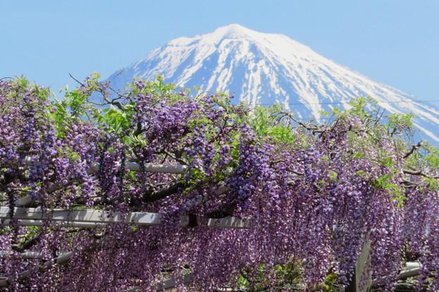 Photos: 藤の花、さわさわ。