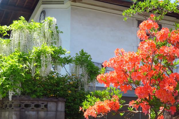 土蔵前のツツジと白藤。