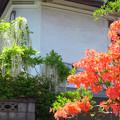 Photos: 土蔵前のツツジと白藤。