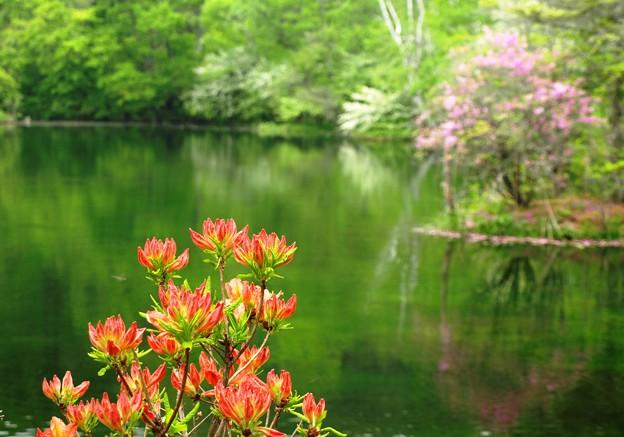 畔のツツジ、咲き始め。