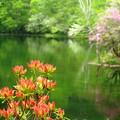 Photos: 畔のツツジ、咲き始め。