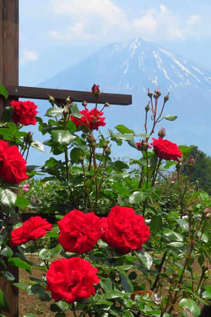 情熱の赤バラ。