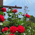 Photos: 情熱の赤バラ。