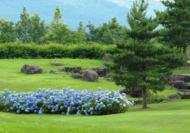 憩いの公園の紫陽花ブルー。