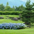 Photos: 憩いの公園の紫陽花ブルー。