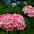 Photos: くれないの紫陽花。
