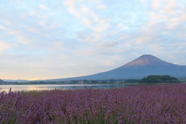 Photos: 朝が来るラベンダー畑。
