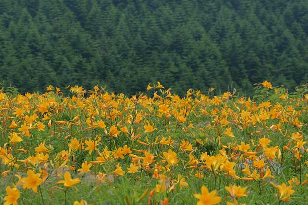 今年は賑わう高原の花。