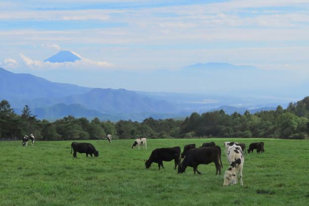 食欲旺盛、秋の牛たち。