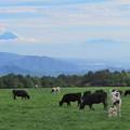 Photos: 食欲旺盛、秋の牛たち。