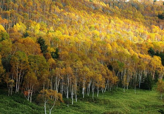 黄金の白樺林。