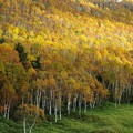 Photos: 黄金の白樺林。